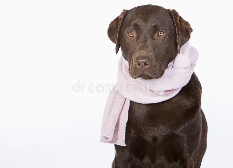 Labrador en bufanda rosada fotografía de archivo libre de regalías
