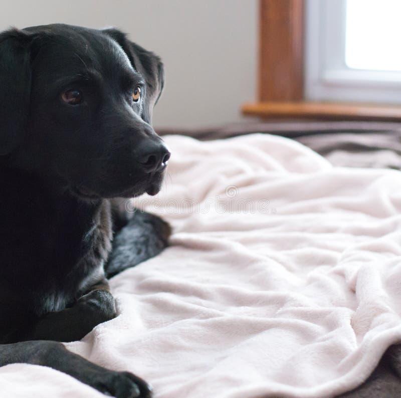Labrador en cama fotografía de archivo