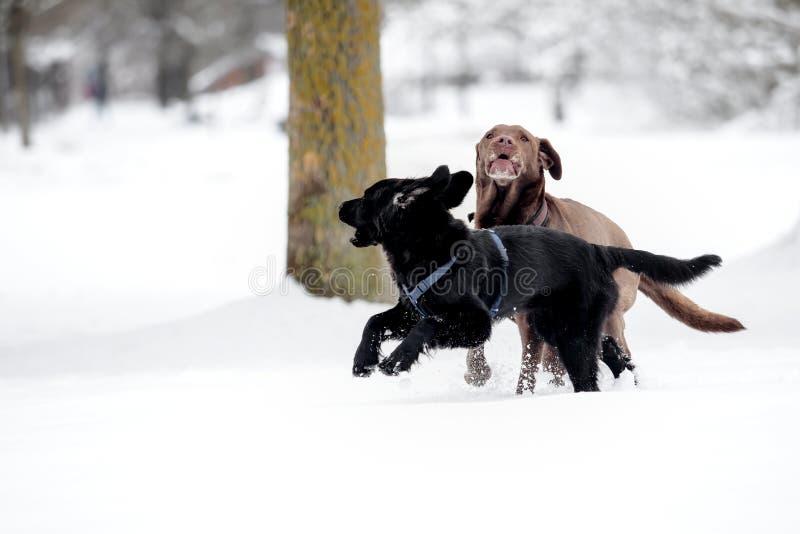Labrador en een puppy spelen in de sneeuw royalty-vrije stock fotografie