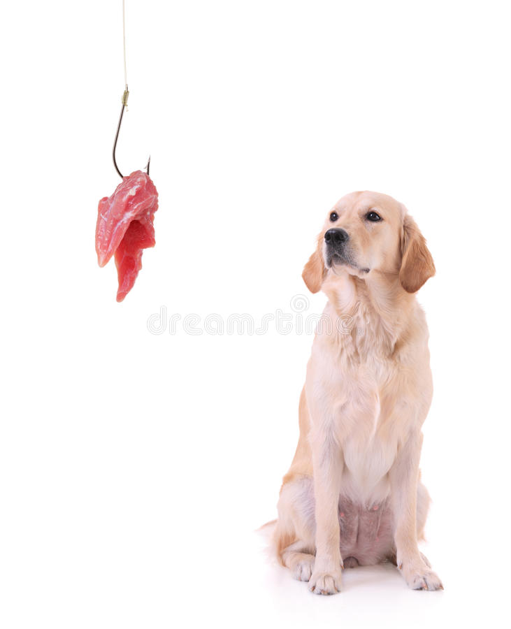 Labrador en een visserijhaak met vlees royalty-vrije stock foto