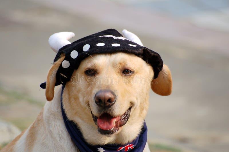 Labrador encantador fotografía de archivo