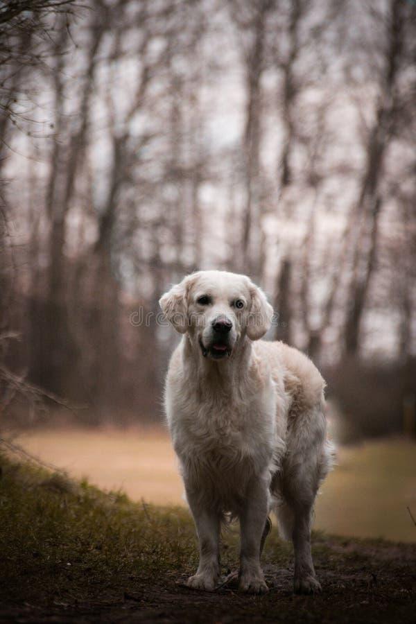 Labrador está estando na frente da floresta, atmosfera misteriosa fotografia de stock royalty free