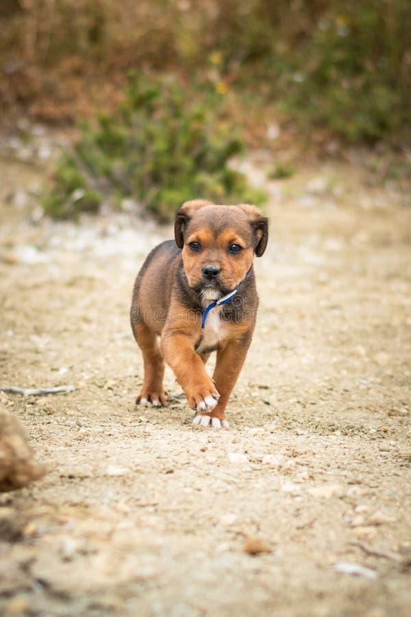 Labrador et chiot de mélange de Rottwailer photographie stock libre de droits