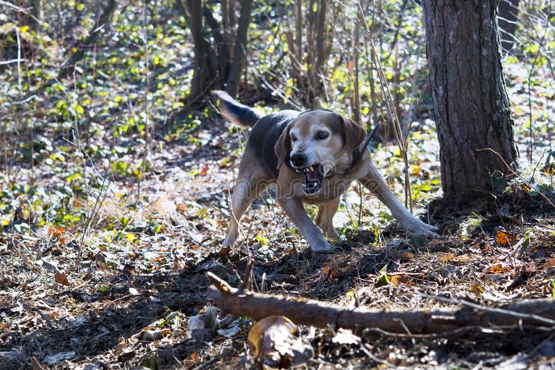 labrador för bakgrundshundjakt vit yellow fotografering för bildbyråer