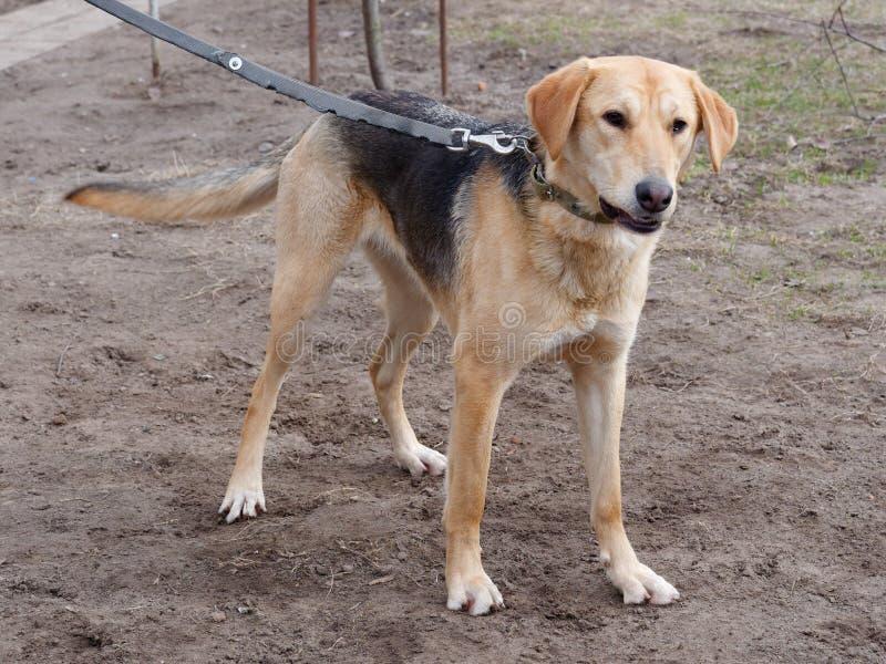 labrador för bakgrundshundjakt vit yellow Rysk hund yttre ställning i natur royaltyfria foton