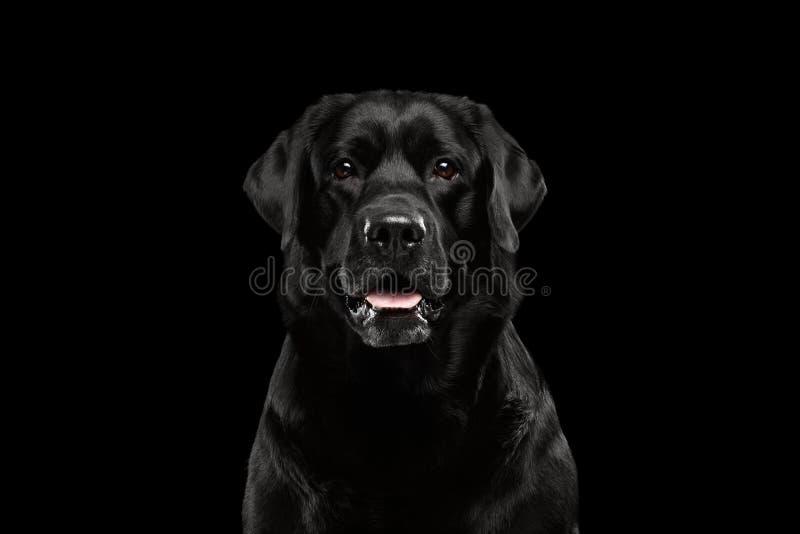 Labrador för Closeupståendesvart, vaket se, främre sikt som isoleras royaltyfria bilder