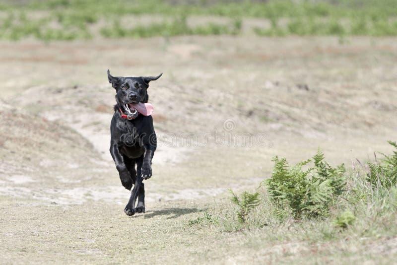 labrador för svart bygd running barn royaltyfri fotografi