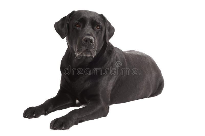 labrador för svart hund liggande retriever royaltyfri bild