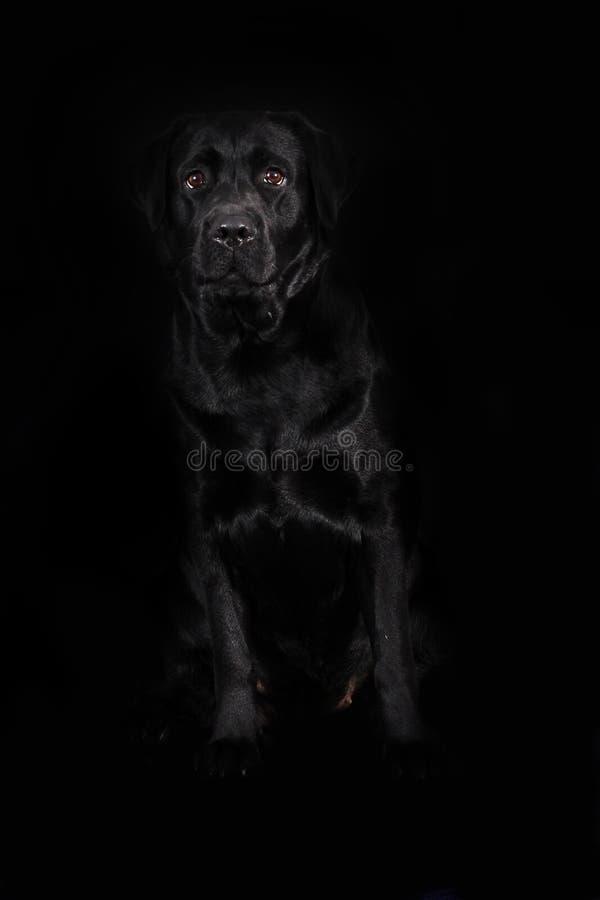 Labrador för svart hund på en svart bakgrund royaltyfria foton