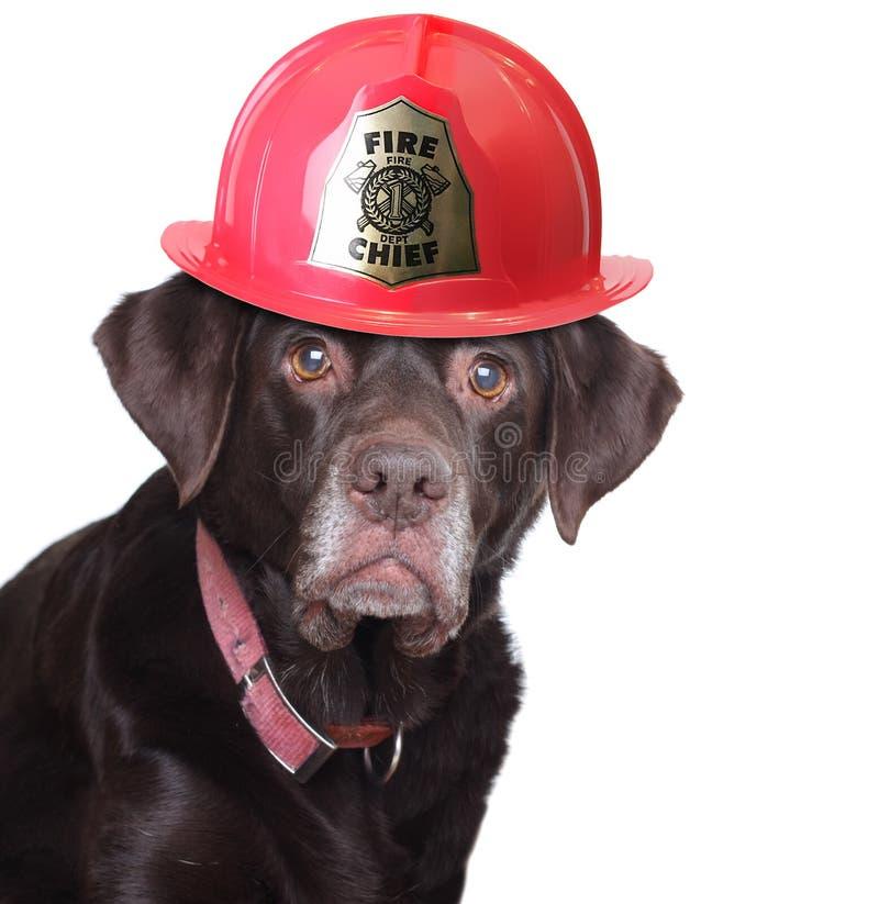 Labrador-Feuerwehrmann lizenzfreie stockfotos