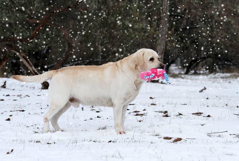 Labrador giallo che corre nell'inverno in neve con un giocattolo fotografie stock libere da diritti