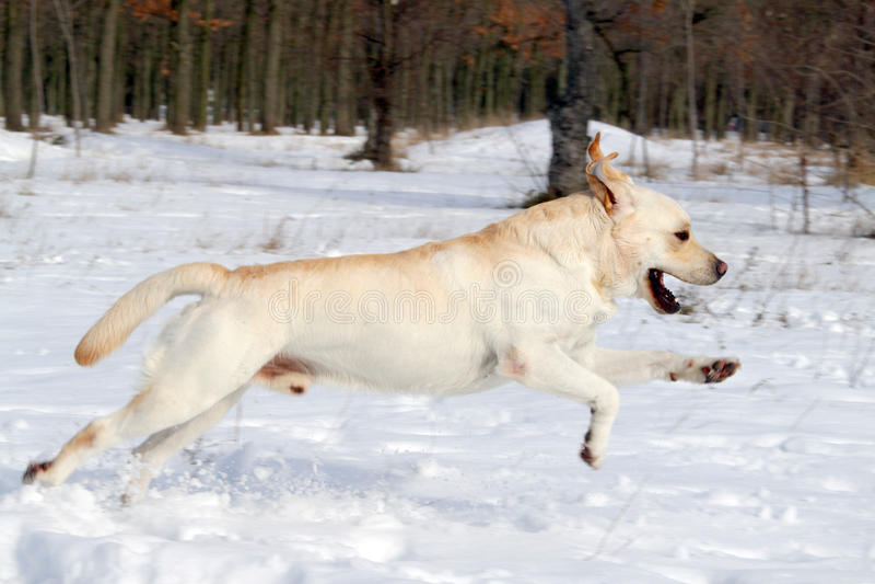 Labrador giallo che funziona nell'inverno immagini stock