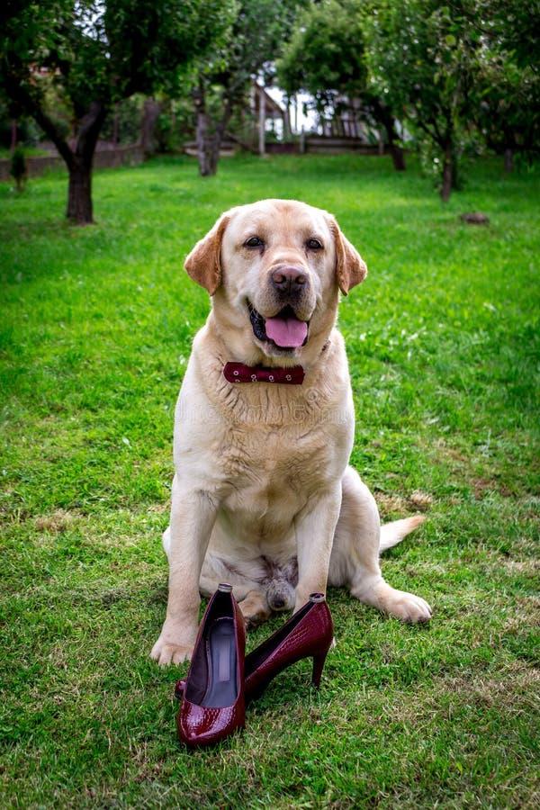 Labrador giallo con la custodia di cravatta a farfalla immagini stock libere da diritti