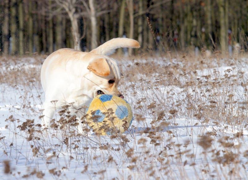 Labrador giallo nel funzionamento di inverno con una palla immagine stock libera da diritti