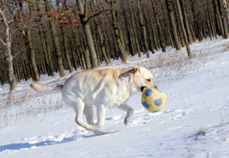 Labrador giallo nel funzionamento di inverno con una palla fotografia stock