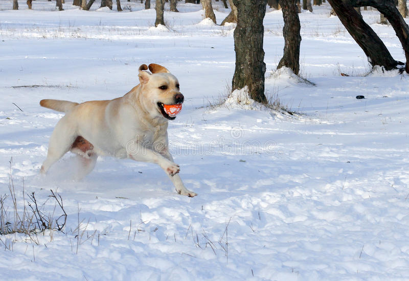 Labrador giallo nel funzionamento di inverno con una palla fotografie stock