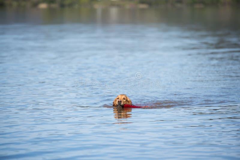 Labrador-golden retriever-Hundereiner Zucht-Frauwelpe stockbilder