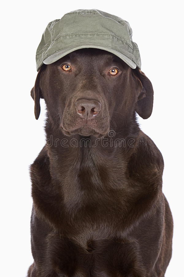 Labrador in Green Army Style Baseball Cap. Handsome Labrador in Green Army Style Baseball Cap stock photo
