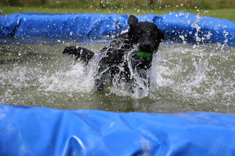 Labrador have fun in the pool. Black labrador retriever is jumping in the pool with a ball in the mouth stock photo