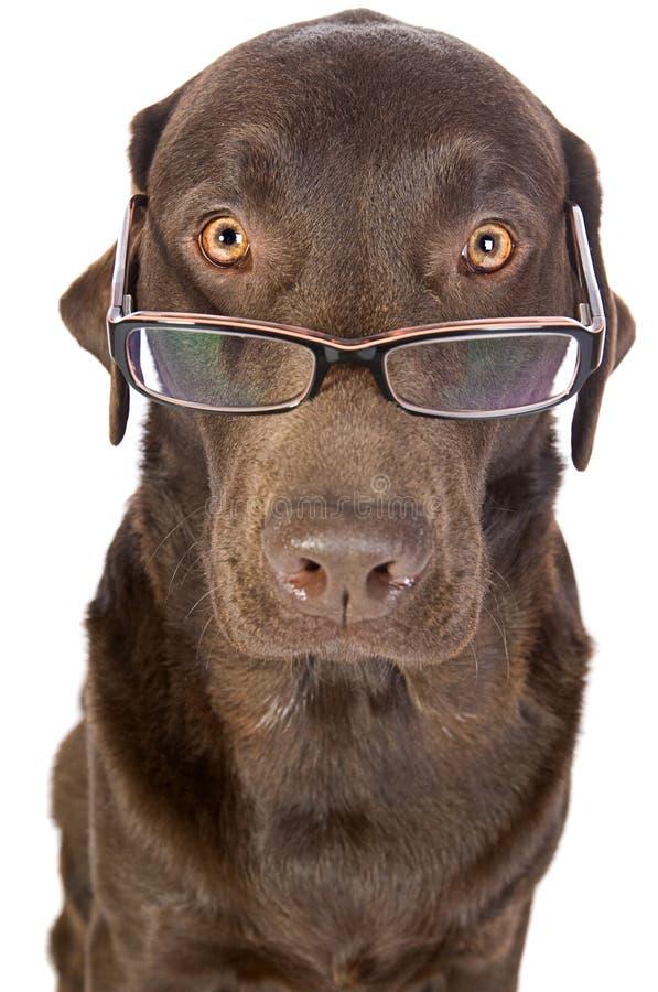 Labrador hermoso y listo en vidrios imagen de archivo