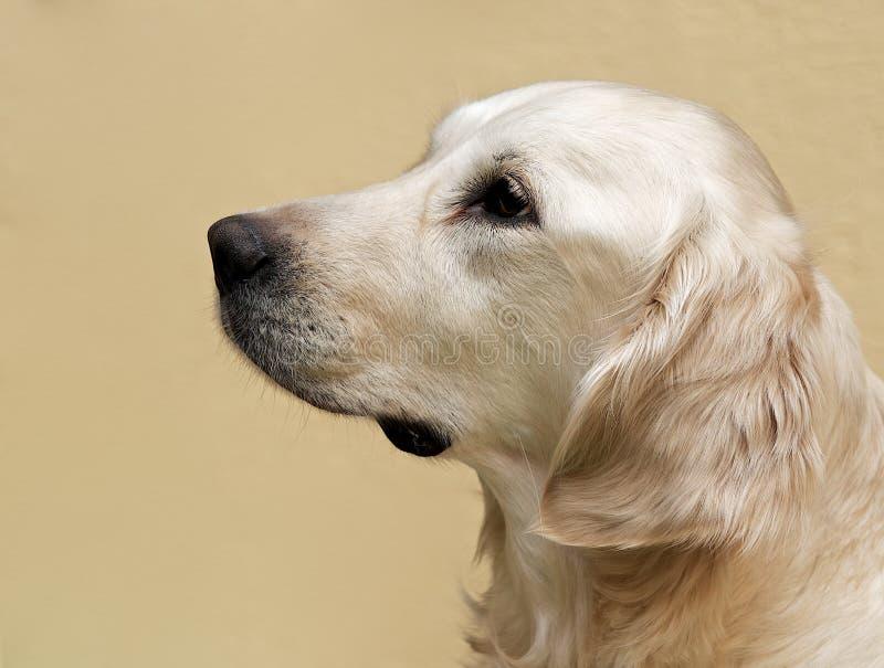 Labrador, het dichte omhooggaande, hoofdgewas die van het Labradorportret, Labrador op bruine roomachtergrond recht kijken stock foto