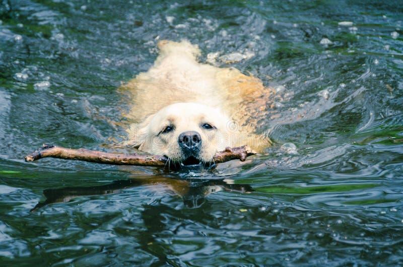 Labrador in het water stock afbeelding