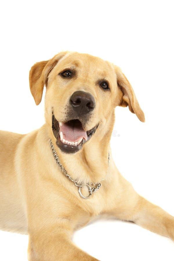 Labrador-Hund stockbilder
