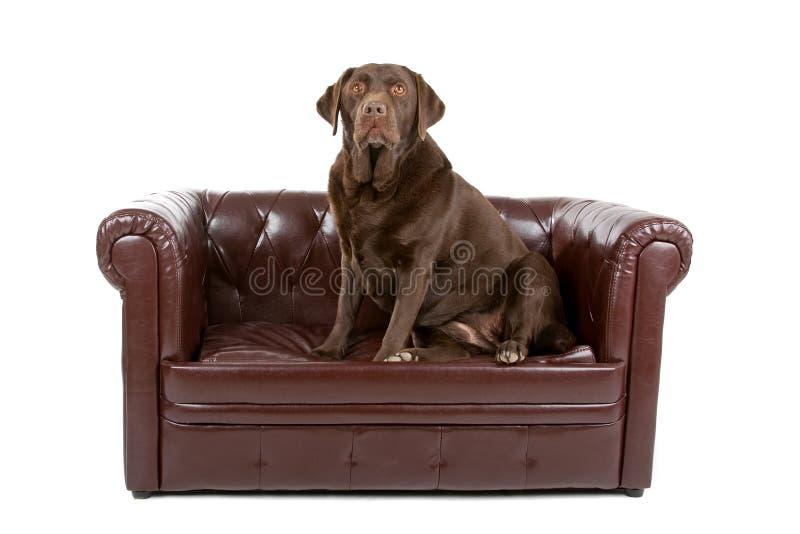 Labrador-Hund auf lederner Couch stockfotos