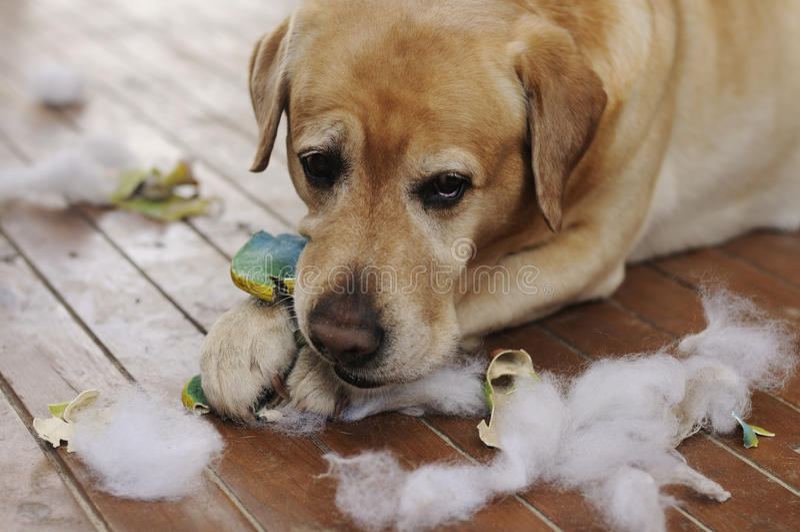 Labrador-Hund, der mit einem Spielzeug spielt stockbilder