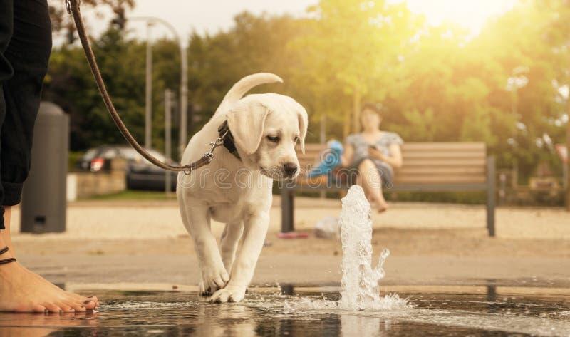 Labrador-Hundewelpe, der Wasserbrunnen neugierig betrachtet lizenzfreies stockfoto