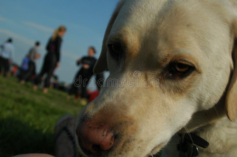 Labrador inquisitivo fotos de archivo