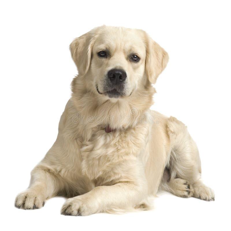 Labrador kremowy Retrievera fotografia stock
