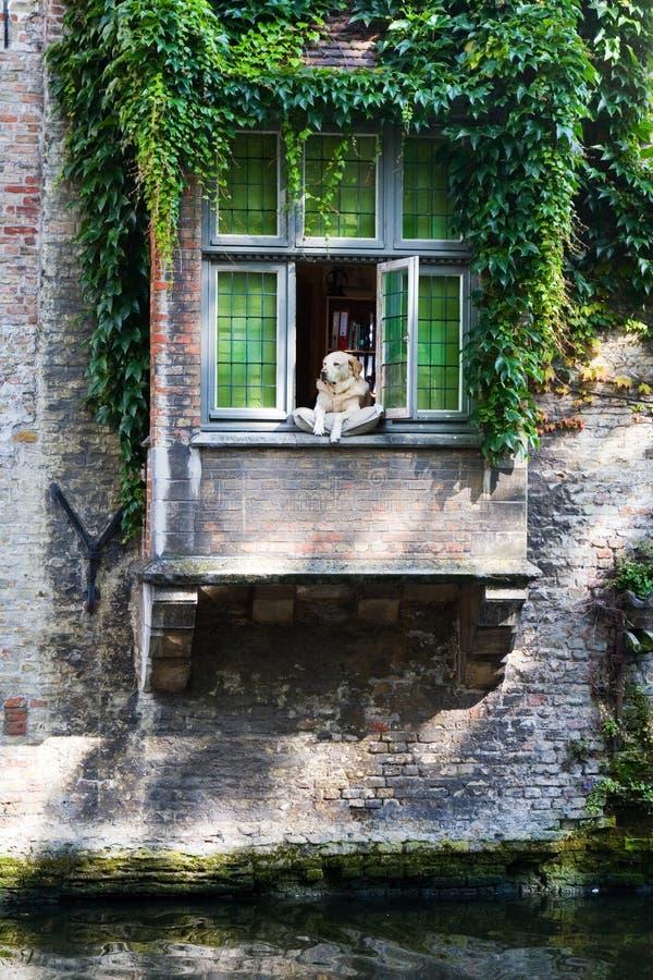 Labrador a la ventana en la almohadilla en Brujas fotografía de archivo libre de regalías