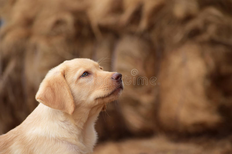 Labrador. Landscape of a young male Labrador stock photography