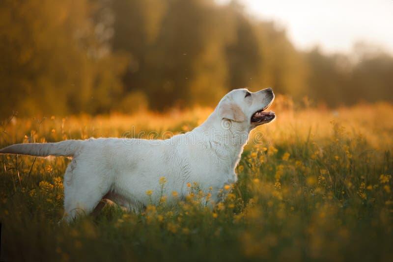 Labrador in lang gras stock foto