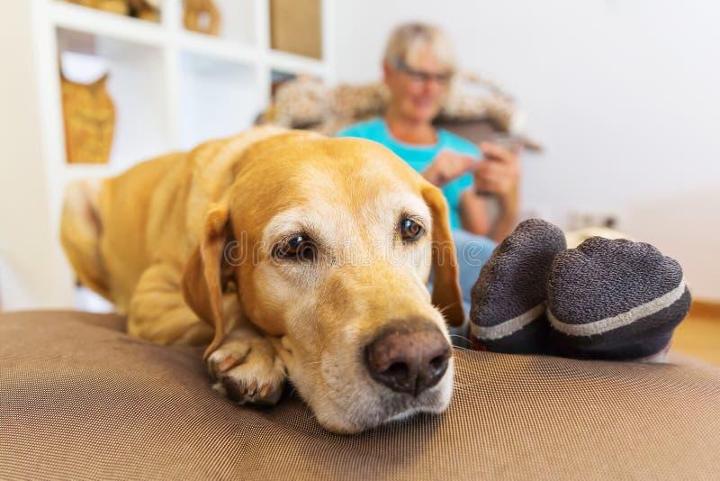 Labrador ligger på ett placeringmöblemang med en ringa kvinna i bakgrund arkivfoton