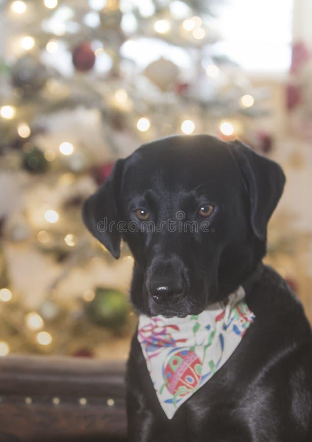 Labrador lindo fotos de archivo libres de regalías