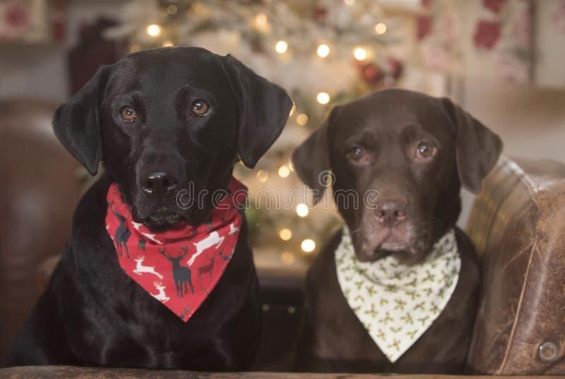 Labrador lindo fotos de archivo