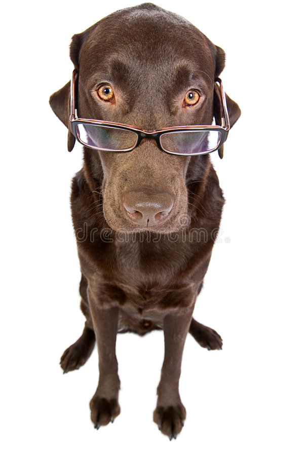 Labrador listo con los vidrios imagen de archivo libre de regalías