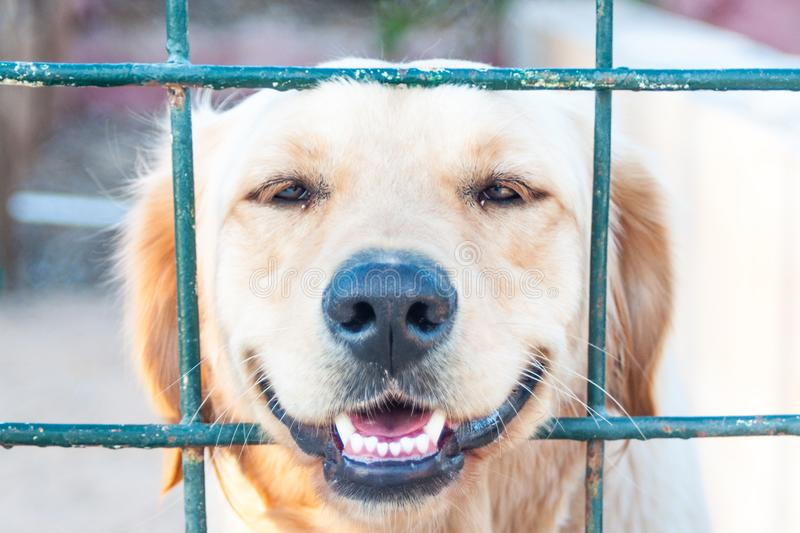 Labrador looked through the barricade. Close up of Labrador dog lying looking out of the barrier fence, poorly barricaded stock photo