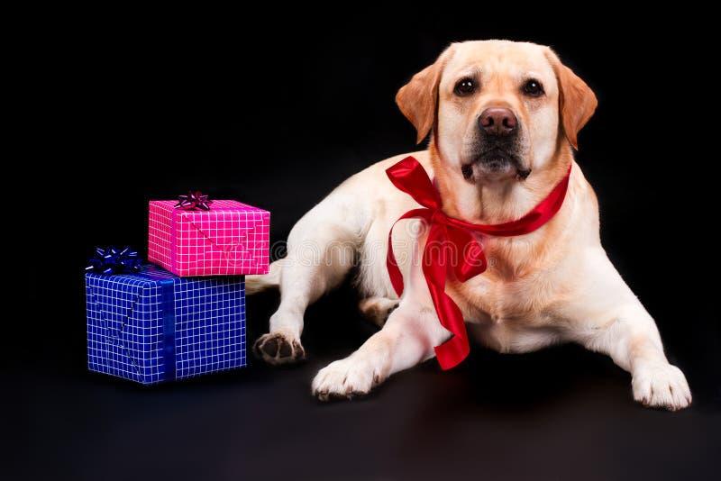 Labrador med pilbåge- och gåvaaskar fotografering för bildbyråer