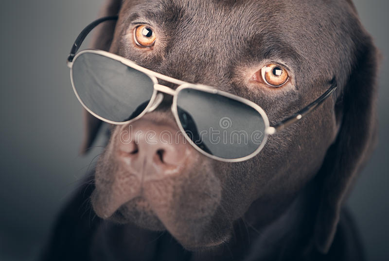Labrador med solglasögon royaltyfri fotografi
