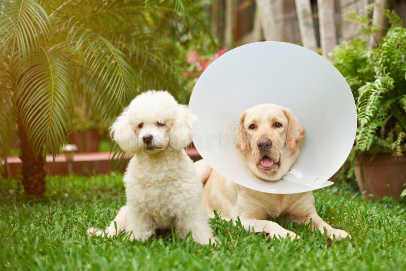 Labrador met kegelkraag stock afbeeldingen