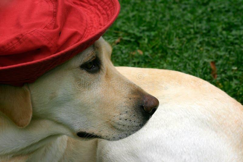 Download Labrador mit rotem Hut II stockfoto. Bild von vorhang, grün - 25866