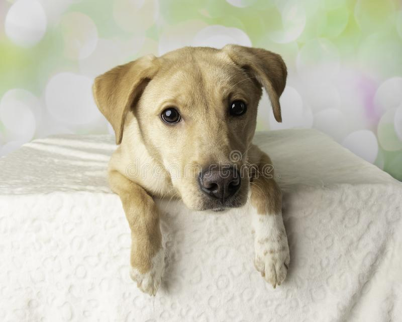 Labrador Mix Dog Portrait With Colorful Background Lying Down royalty free stock photo