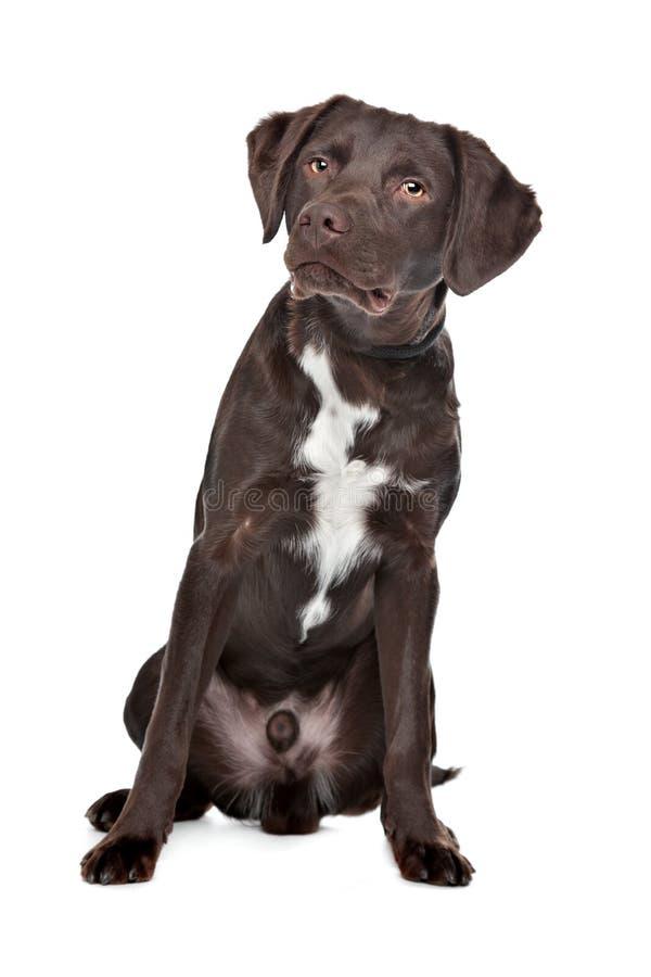 Labrador, Munsterlander imagen de archivo
