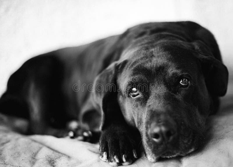 Labrador, når att ha ätit royaltyfri bild