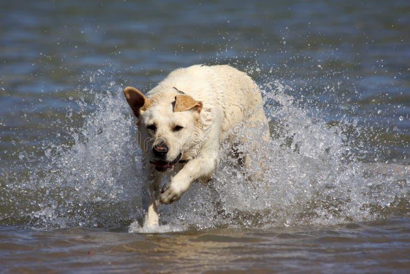 Labrador na água foto de stock royalty free