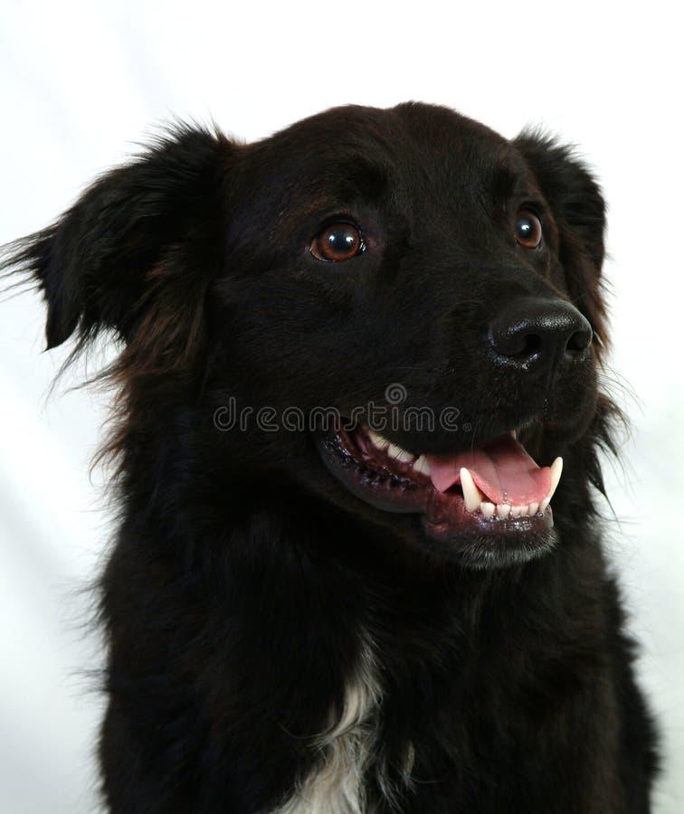 Labrador negro fotografía de archivo