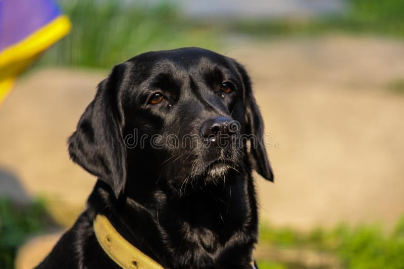 Labrador negro fotografía de archivo libre de regalías